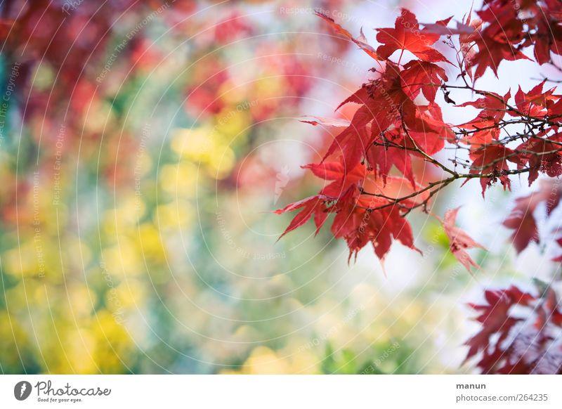 Ahorn rot-gelb Natur Frühling Baum Blatt Zweige u. Äste Ahornzweig Frühlingsgefühle Farbfoto Außenaufnahme Menschenleer Textfreiraum links Textfreiraum unten