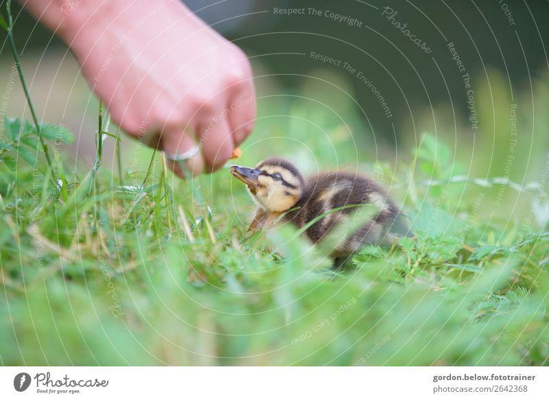 Tierliebe Hand 1 Mensch Natur Pflanze Gras Wiese Wildtier Gänsekücken Tierjunges beobachten füttern Kommunizieren Glück klein Neugier blau braun gelb grau grün