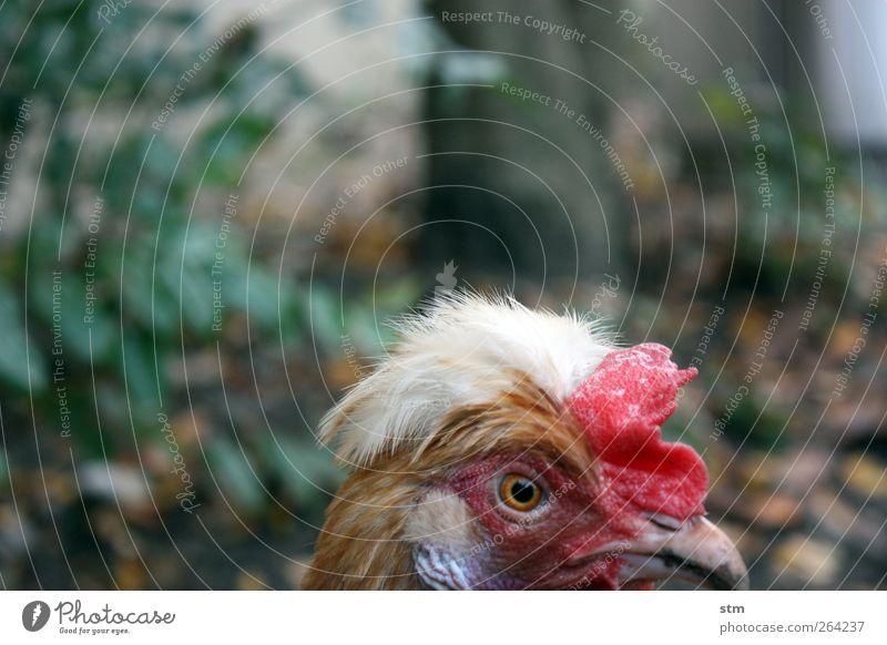 gerlinde alt rot Tier Auge Vogel verrückt Feder beobachten Tiergesicht Schnabel Stolz Haushuhn Nutztier eitel Hahn Kamm