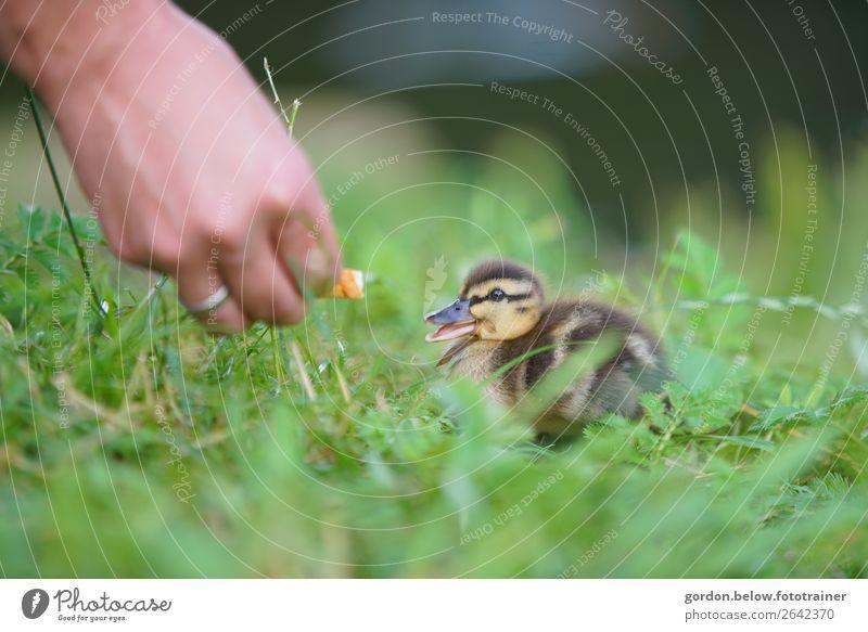 Friendships Körper Hand Natur Frühling Gras Wiese Gänsekücken 1 Tier füttern genießen Glück blau braun gold grau grün orange schwarz weiß Zufriedenheit