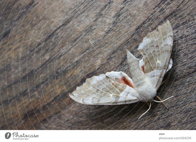 alter falter Tier Wildtier Flügel Insekt Motte Fühler 1 Holz ästhetisch authentisch außergewöhnlich schön grau Farbfoto Außenaufnahme Muster Strukturen & Formen