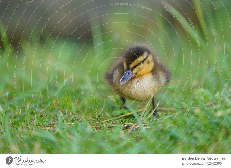 Frisch geschlüpft! Pflanze grün weiß Tier schwarz Tierjunges Wärme gelb Frühling Gras orange braun grau Zufriedenheit beobachten entdecken