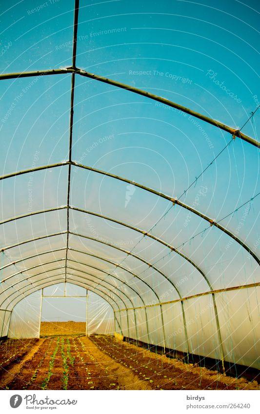 Buntes Treiben Gärtnerei Erde Wolkenloser Himmel Nutzpflanze leuchten Wachstum frisch hell positiv blau gelb Farbe Perspektive Gewächshaus lang Folienbeet