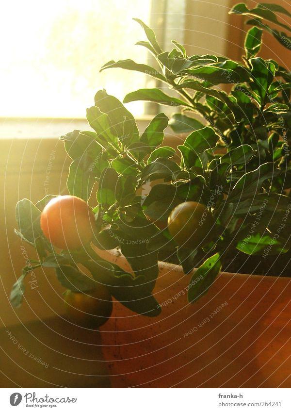 solanum pseudocapsicum Sonnenlicht Pflanze Topfpflanze Korallenbäumchen Fenster Farbfoto Innenaufnahme Tag Gegenlicht Menschenleer Fensterbrett 1