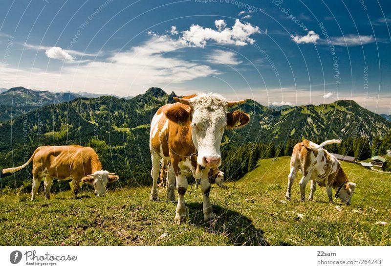 MUHAHA!! Berge u. Gebirge Umwelt Natur Landschaft Himmel Wolken Sommer Wiese Alpen Gipfel Kuh 3 Tier Blick stehen ästhetisch natürlich nachhaltig Bayern Weide