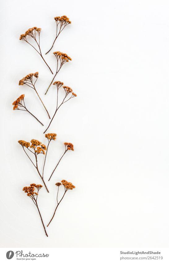 Ornament aus Trockenschirmpflanzen Kräuter & Gewürze elegant Natur Pflanze Herbst Blume einfach natürlich braun weiß Farbe Regenschirm Regenschirme