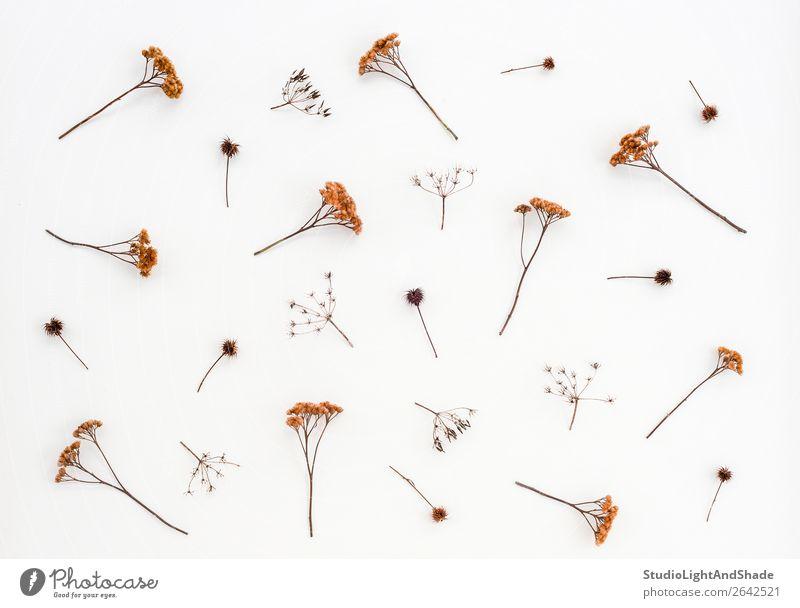 Trockene Disteln und Regenschirmpflanzen auf weißer Leinwand Kräuter & Gewürze elegant Natur Pflanze Herbst Blume einfach natürlich braun Farbe