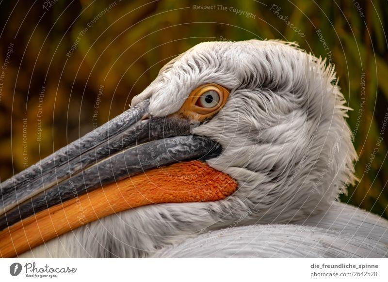 Pelikan Natur Herbst Klimawandel schlechtes Wetter Berlin Deutschland Europa Tier Vogel Tiergesicht 1 orange weiß Wasservogel grimmig Nahaufnahme Zoo Schnabel