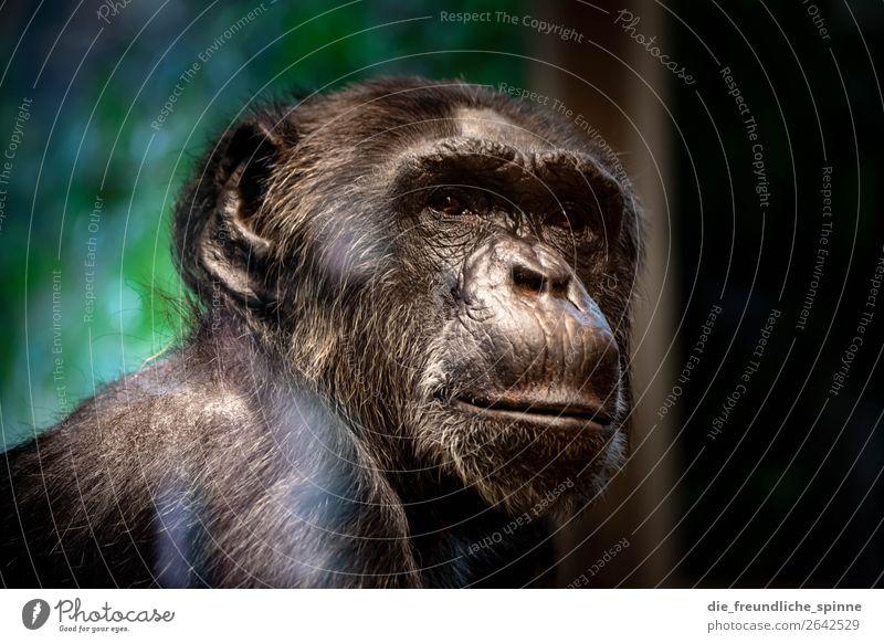 nachdenklicher Schimpanse Natur Tier Klimawandel Berlin Deutschland Europa Wildtier Zoo Schimpansen Bonobo 1 braun grau grün Affen Afrika bedrohlich Einsamkeit