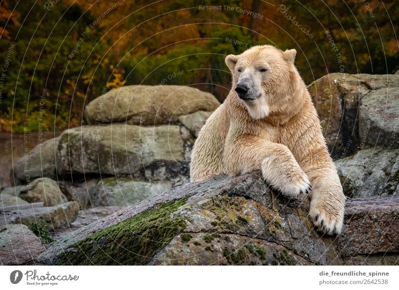 Eisbär im Herbst Natur weiß Einsamkeit Tier gelb Umwelt Berlin Deutschland grau Felsen Wetter gold Europa liegen Wildtier
