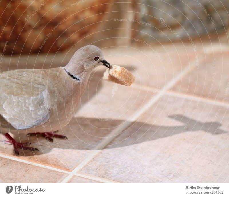 Übernommen Tier Vogel Wildtier stehen Teile u. Stücke Fliesen u. Kacheln Tiergesicht Frühstück Fressen Bildausschnitt Taube Schnabel Anschnitt füttern Futter Krümel