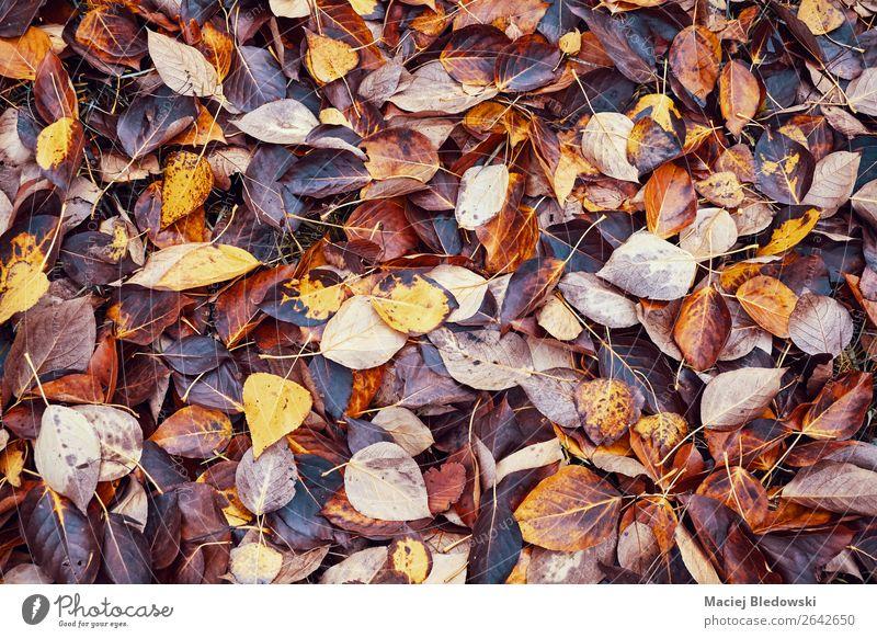 Verfallende Blätter, zeitvergängliches Konzept. Garten Tapete Umwelt Natur Herbst Klimawandel Blatt Park Wald braun orange Tod Einsamkeit Farbe Misserfolg
