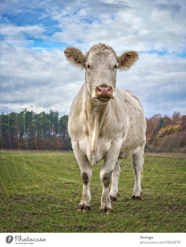 Rind müsste man sein Tier Nutztier Kuh Fell Pfote Fährte 1 Tierjunges beobachten Fressen Rindfleisch Rinderfilet Rinderbraten Rinderhaltung Weide Farbfoto