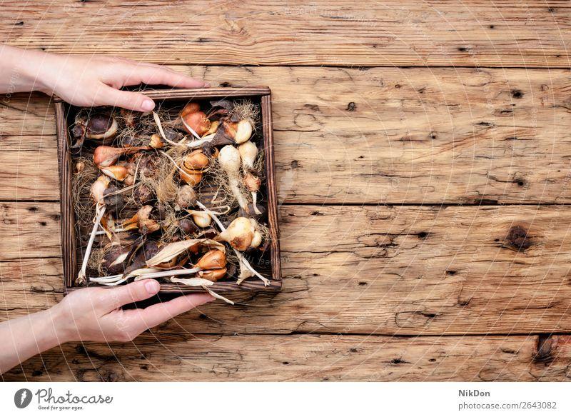 Satz Tulpenzwiebeln Blume Knolle Garten Pflanze Hand Gartenarbeit Frühling Natur Ackerbau Wachstum Herbst Samen geblümt natürlich wachsend Gartenbau Kasten