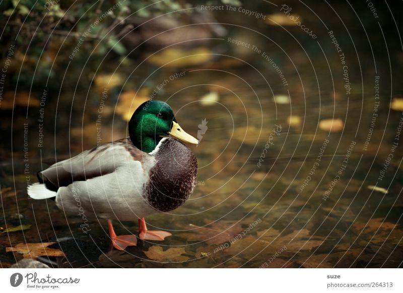 Stockente Umwelt Natur Tier Urelemente Wasser Wetter Schönes Wetter Seeufer Teich Wildtier Vogel 1 stehen Entenvögel herbstlich Herbstfärbung Herbstbeginn