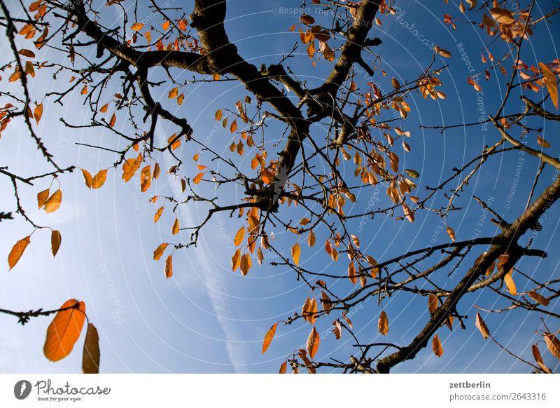 Kirschbaum im Herbst Blatt Herbstlaub Ast Baum Garten Himmel Himmel (Jenseits) Schrebergarten Kleingartenkolonie Menschenleer Natur Pflanze ruhig Baumstamm