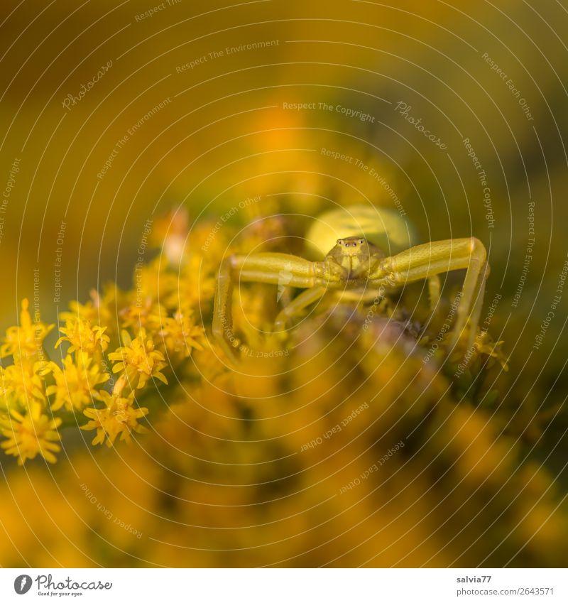 Tarnfarbe Umwelt Natur Sommer Pflanze Blume Blüte Kanadische Goldrute Garten Tier Tiergesicht Spinne Krabbenspinne 1 beobachten Blühend Duft festhalten warten