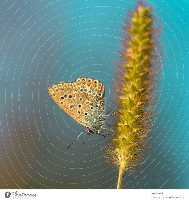 Abendsonne genießen Natur Sommer Pflanze blau Tier ruhig Umwelt Blüte klein braun Behaarung ästhetisch Idylle Schönes Wetter Flügel