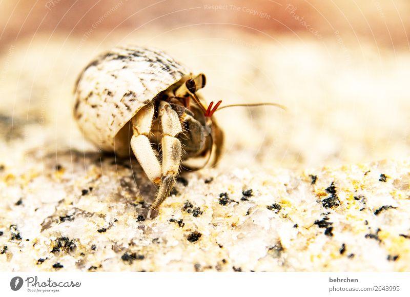 neugierig Ferien & Urlaub & Reisen Tourismus Ausflug Abenteuer Ferne Freiheit Natur Sand Strand Meer Muschel Tiergesicht Auge Fühler Einsiedlerkrebs