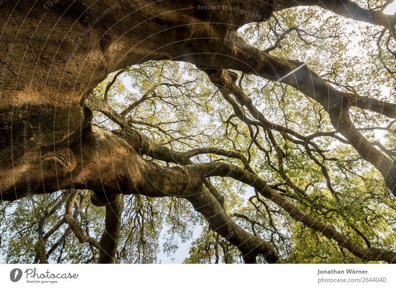 Cork tree Ferien & Urlaub & Reisen Tourismus Ausflug Abenteuer Sommer wandern Umwelt Natur Pflanze Sonnenlicht Frühling Schönes Wetter Baum Korkeiche Park Wald