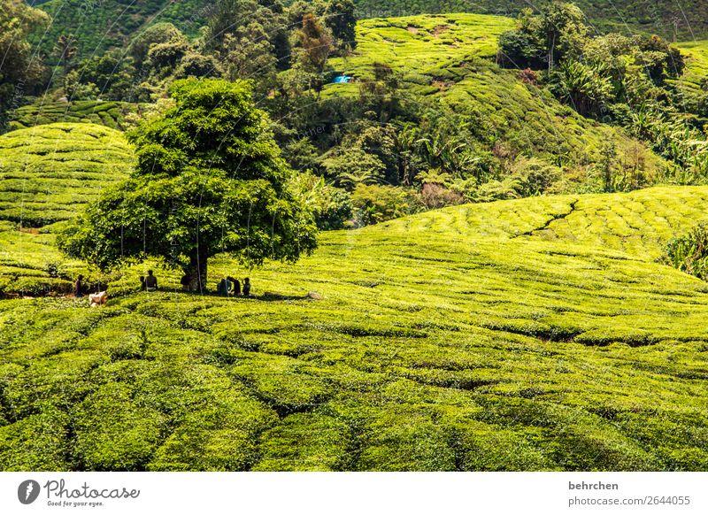 teebaum Ferien & Urlaub & Reisen Natur Pflanze grün Landschaft Baum Blatt Ferne Berge u. Gebirge Tourismus außergewöhnlich Freiheit Ausflug Feld Abenteuer