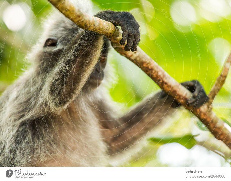 gut abgehangen Ferien & Urlaub & Reisen Tourismus Ausflug Abenteuer Ferne Freiheit Baum Urwald Wildtier Tiergesicht Fell Affen haubenlangur Hand Finger 1