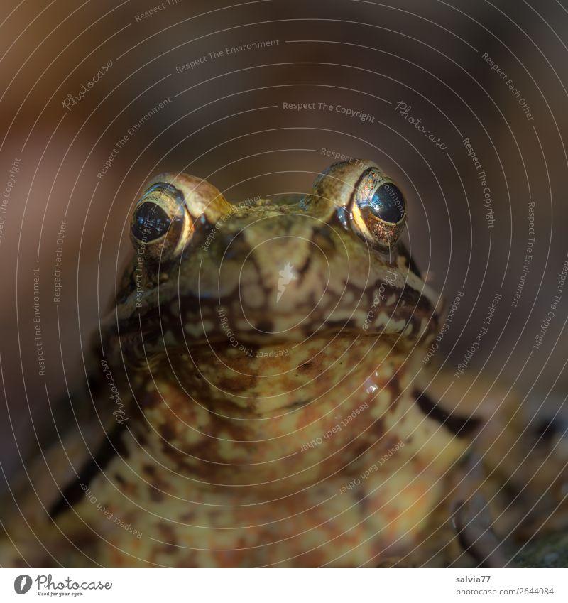 Froschaugen Umwelt Natur Moor Sumpf Teich Tier Tiergesicht Fährte Froschlurche Lurch 1 beobachten braun Blick Farbfoto Gedeckte Farben Außenaufnahme