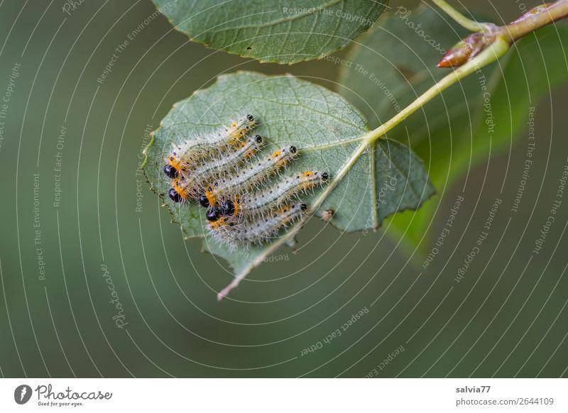 fünf auf einem Blatt Natur Pflanze grün Baum Tier Wald Umwelt klein frisch Tiergruppe Schutz Fressen saftig Blattadern Raupe