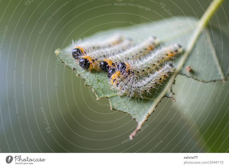 gemeinsam chillen Umwelt Natur Pflanze Blatt Tier Insekt Larve Tiergruppe Fressen genießen Pause Wachstum Wandel & Veränderung Raupe mehrere Farbfoto