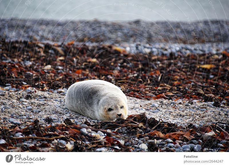 müde Umwelt Natur Landschaft Tier Urelemente Erde Wasser Winter Küste Strand Nordsee Meer Insel Wildtier Fell 1 frei hell nah nass natürlich weich braun grau