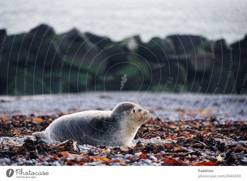 Helgoland Tier kalt natürlich grau hell frei liegen Wildtier nass nah Fell Säugetier Robben Landraubtier Kegelrobbe