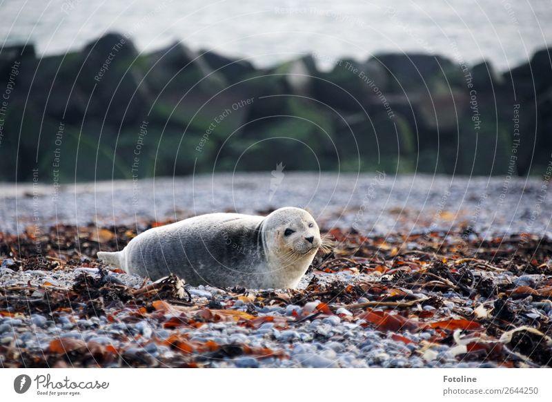 rumlümmeln Umwelt Natur Landschaft Tier Urelemente Erde Winter Küste Strand Nordsee Meer Insel Wildtier Tiergesicht Fell 1 frei hell nah maritim nass natürlich