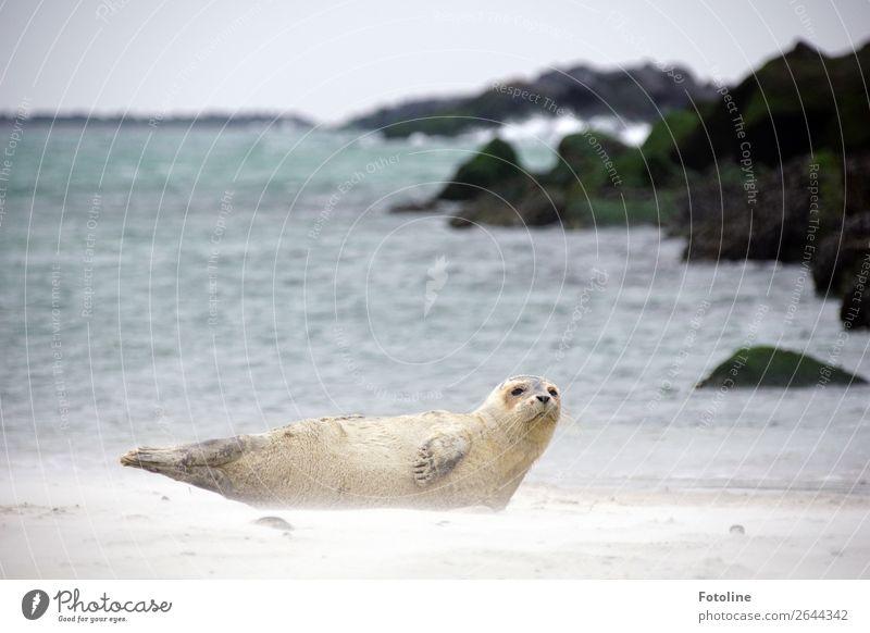im Sandsturm Umwelt Natur Landschaft Tier Urelemente Erde Wasser Himmel Winter Wellen Küste Nordsee Meer Wildtier Tiergesicht Fell 1 frei hell nah maritim nass