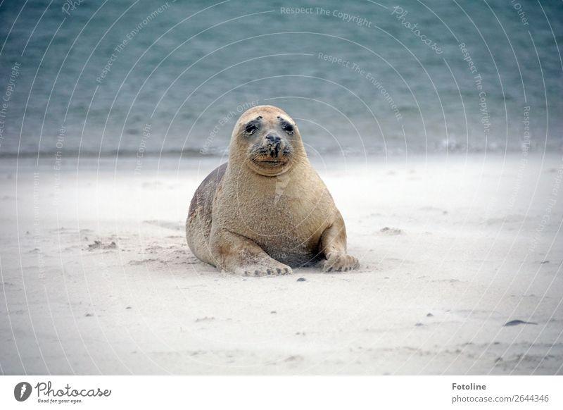 Robbenyoga Natur blau Wasser weiß Landschaft Meer Tier Winter Strand Umwelt natürlich Küste grau Sand hell frei