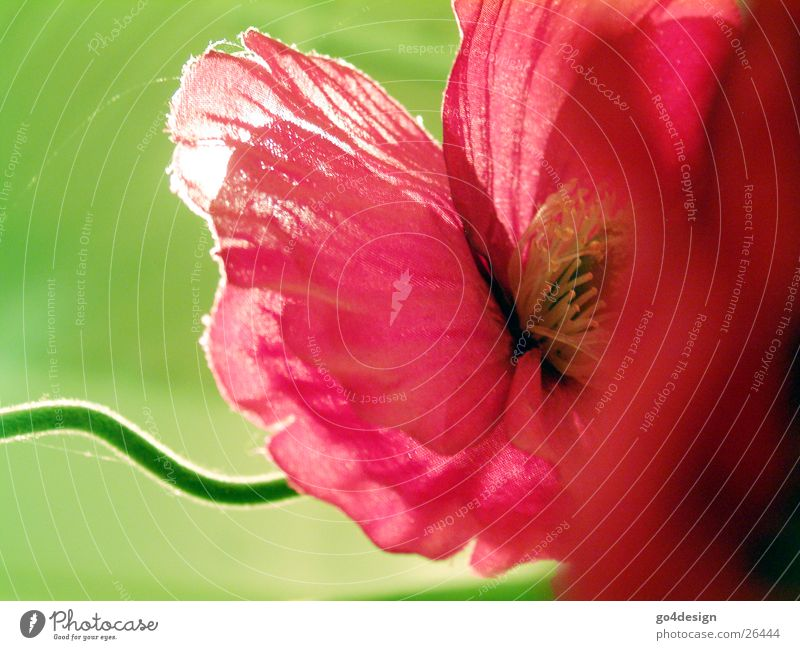 Pinkmohn Natur Blume grün rot Sommer Blüte Frühling rosa