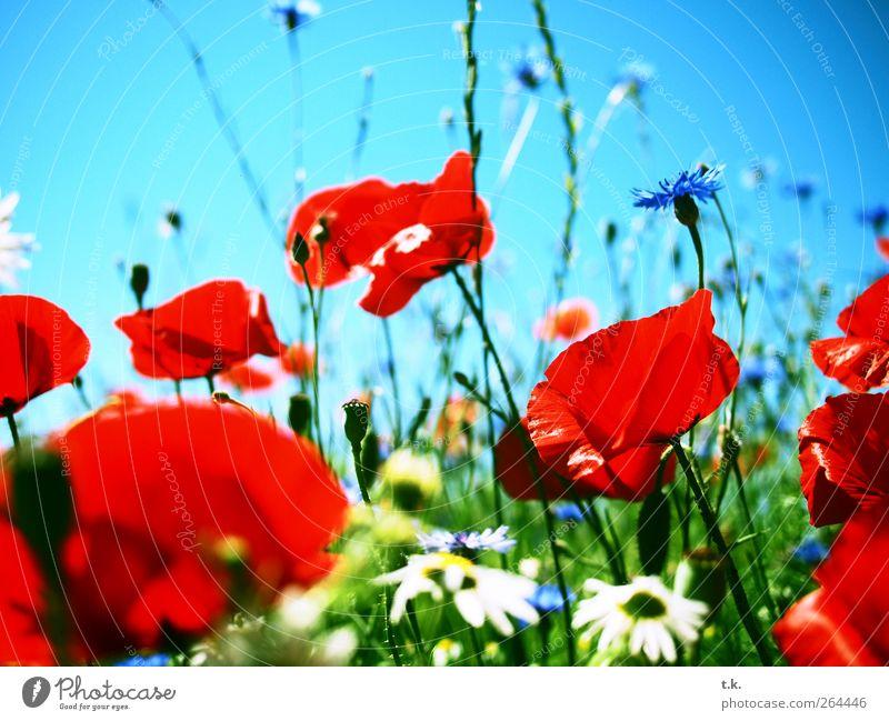 Mohnlandschaft Natur Pflanze Wolkenloser Himmel Sonnenlicht Sommer Schönes Wetter Blume Blüte Mohnfeld Kornblume Margerite Wiese Blühend Duft hell natürlich