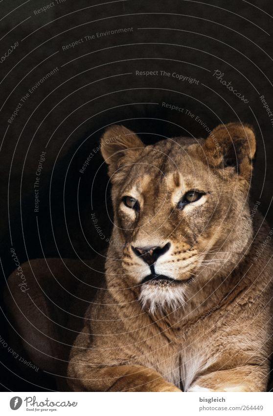 Löwin II schön Tier ruhig Auge Kopf braun liegen weich Tiergesicht Gelassenheit Wachsamkeit Löwe achtsam Katze Vor dunklem Hintergrund