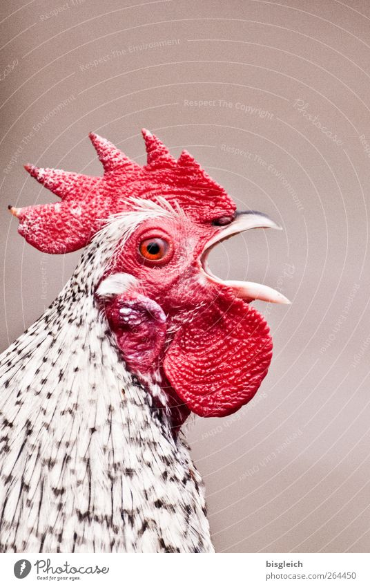 300!!! Haustier Nutztier Vogel Tiergesicht Hahn Hahnenkamm 1 schreien rot weiß Schnabel laut Farbfoto Außenaufnahme Menschenleer Textfreiraum oben