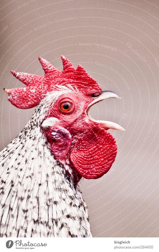 300!!! weiß rot Tier Vogel Tiergesicht schreien Haustier Schnabel laut Nutztier Hahn Tierlaute Hahnenkamm Vor hellem Hintergrund