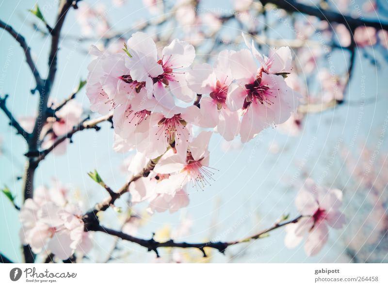 Mandelmus und Leichtigkeit Himmel Natur blau Pflanze schön Blume Umwelt Frühling Blüte rosa Blühend einzigartig Duft exotisch Blütenblatt Frühlingsgefühle