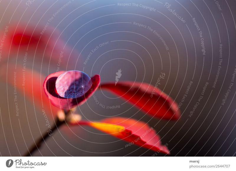 Herbsttröpchen Leben harmonisch ruhig Meditation Wassertropfen Pflanze Blatt Herbstlaub Tropfen leuchten einfach elegant frisch glänzend klein natürlich