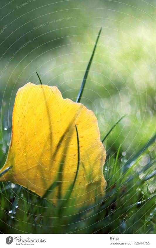 herbstlich verfärbtes gelbes Ginkgoblatt mit Tautropfen im Gras Umwelt Natur Pflanze Wassertropfen Herbst Blatt Park alt glänzend leuchten liegen dehydrieren