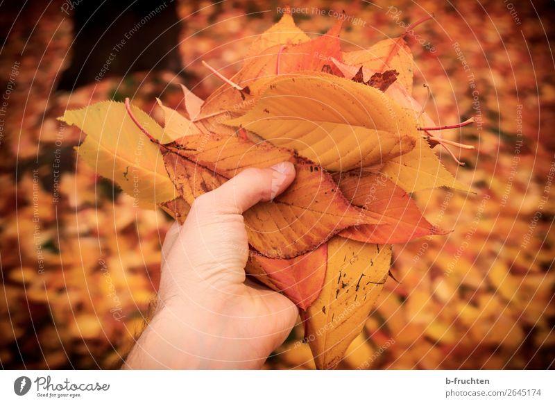 Die Farben des Herbstes Freizeit & Hobby wandern Garten Mann Erwachsene Hand Finger Baum Blatt Park Wald wählen berühren festhalten Blick gold orange ästhetisch