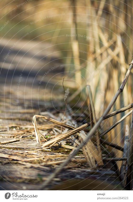 länger hell Natur Sommer Umwelt Holz natürlich Sträucher Schönes Wetter Seeufer Schilfrohr Steg Dürre Bambus Bambusrohr Bambushalm
