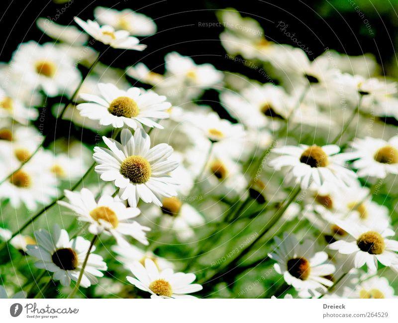 smile Umwelt Natur Pflanze Sommer Blume Blüte Grünpflanze Wildpflanze Gänseblümchen Garten Park Wiese Freundlichkeit hell schön weich gelb grün weiß Farbfoto