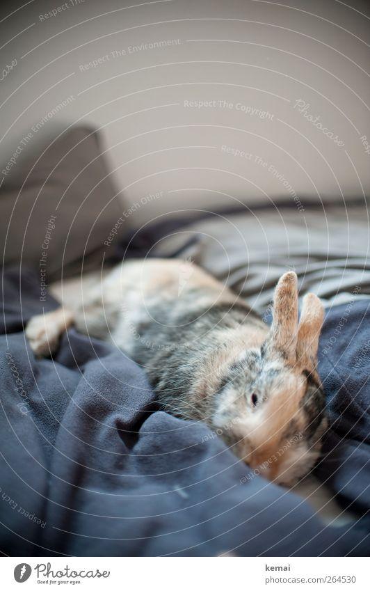 Müder Krieger Erholung Tier Wohnung liegen träumen niedlich schlafen Bett Fell Müdigkeit Haustier Hase & Kaninchen Schlafzimmer Osterhase Bauwerk Möbel