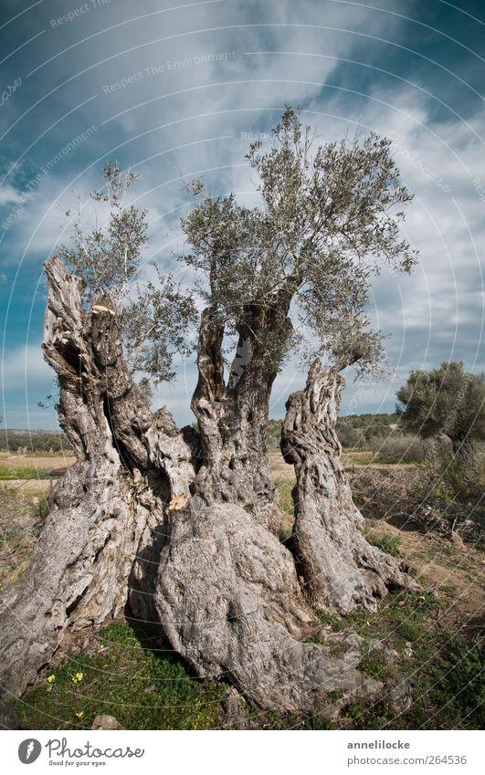Olivengreis Lebensmittel Umwelt Natur Landschaft Pflanze Himmel Wolken Sommer Klima Klimawandel Schönes Wetter Baum Nutzpflanze Baumstamm Baumrinde Feld