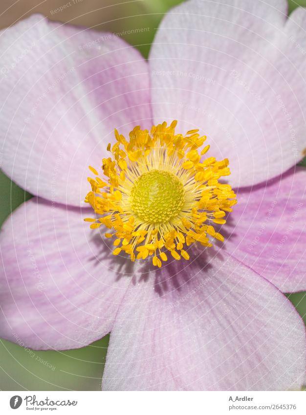 Detailaufnahme einer Herbst-Anemone Natur Pflanze Sonnenlicht Sommer Schönes Wetter Blume Blüte Anemonen Herbstanemone Garten Blühend Duft leuchten ästhetisch