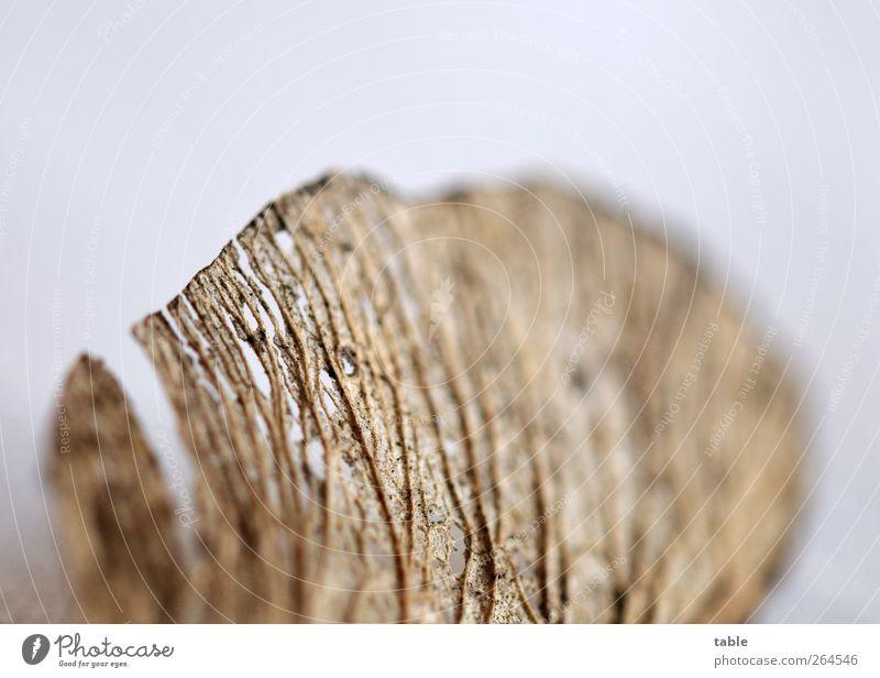 beflügelt Natur alt Baum Pflanze Umwelt grau klein braun Kraft fliegen natürlich Beginn Wachstum Netzwerk Wandel & Veränderung einzigartig