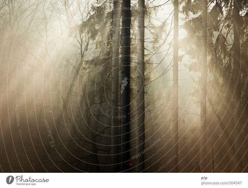frühe Natur Baum Pflanze Sonne ruhig Wald Umwelt hell frisch Schönes Wetter Tanne Baumstamm Fichte Nadelwald
